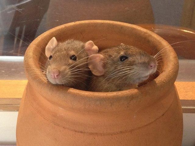 artistic-confidence-rats